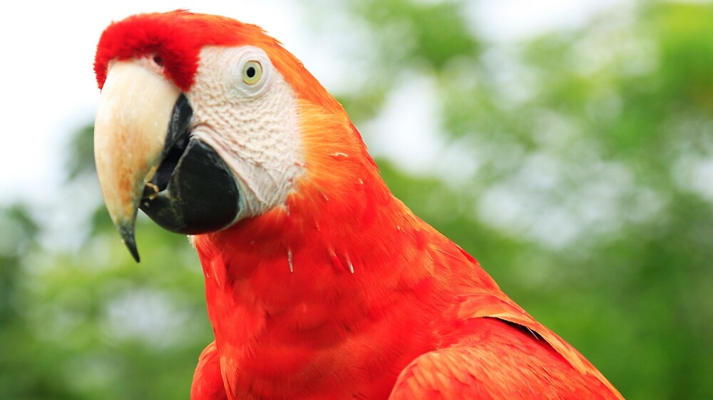 Macaw bird photographed in the jungle in Panama, Central America by unatrotamundos