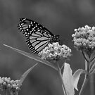 Monarch in Black and White by Sandy Keeton