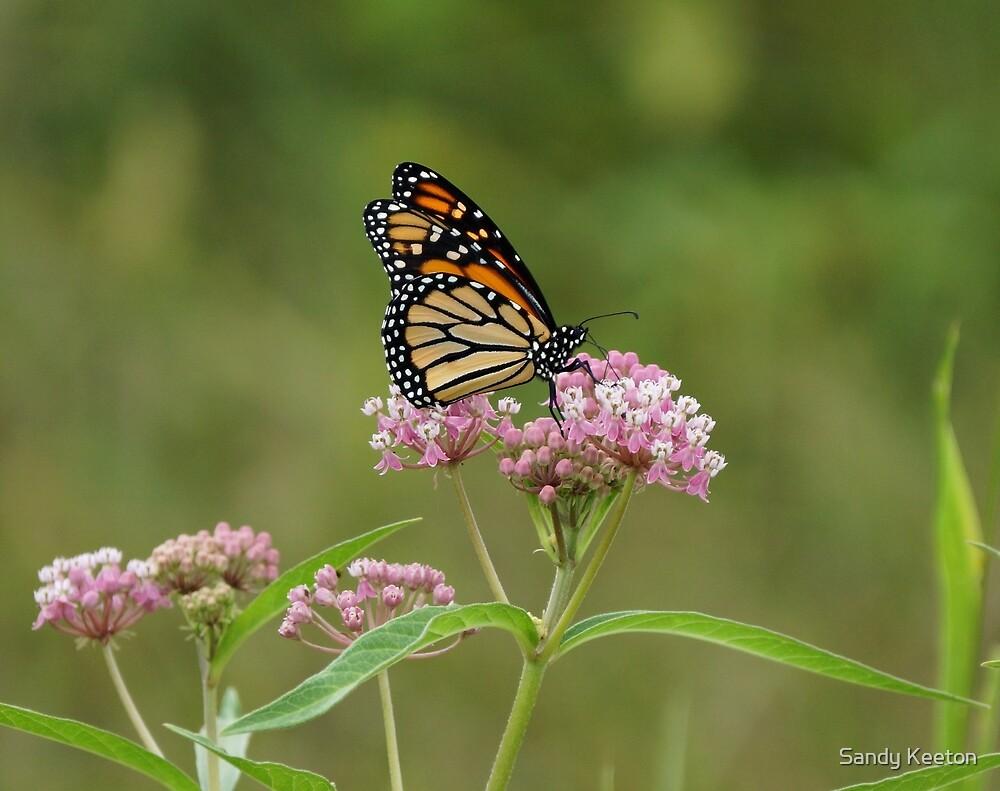Beautiful Monarch by Sandy Keeton