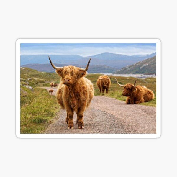 Highland Cow Glen Garry. Scottish Highlands. Sticker