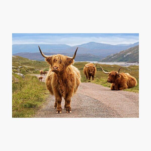 Highland Cow Glen Garry. Scottish Highlands. Photographic Print