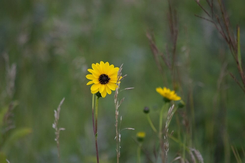 Yellow prairie flower by judyallenphotog