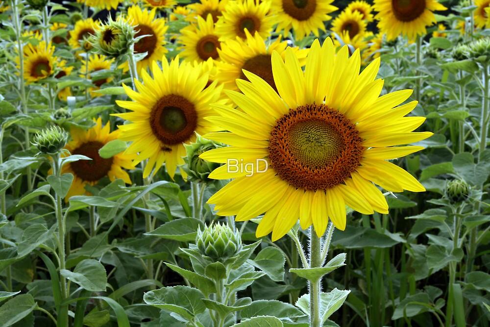 Sunflowers by BigD