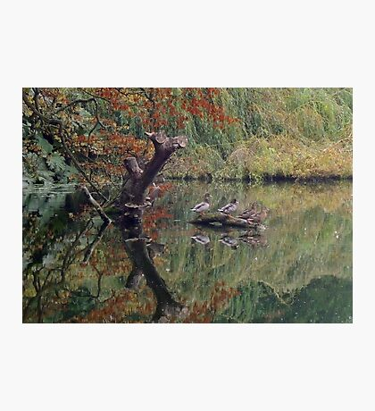 A Couple of Couples (Ducks at Witley)  Photographic Print