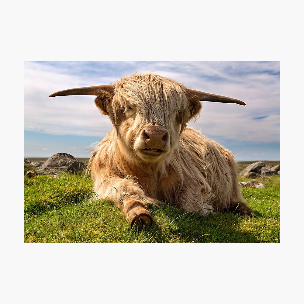 Hochlandkuh bei Islibhig. Insel von Lewis. Schottland. Fotodruck