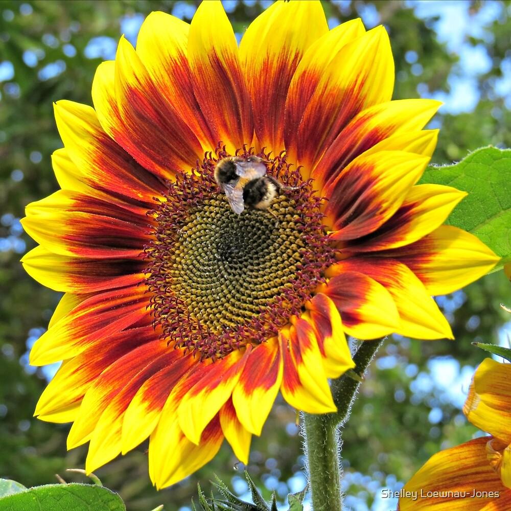Bee on Ring of Fire Sunflower by Shelley Loewnau-Jones
