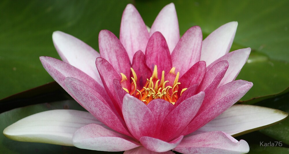 Pink Lotus by Karla76