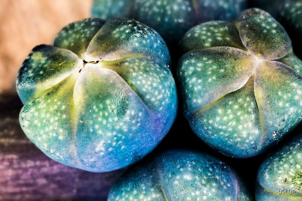 Blue grape hyacinth by yortje