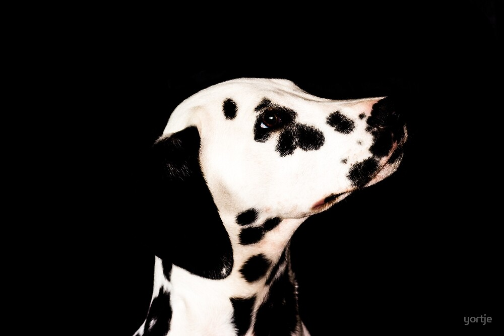 Dalmatian by yortje