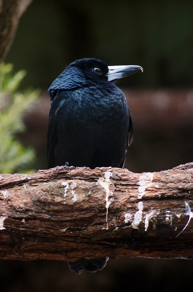 Black Butcher bird by David  Hall