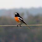 Male Scarlet Robin - Busselton W.A. by Coralie Plozza