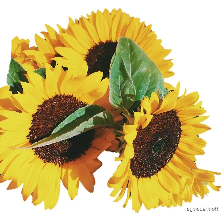 Sunflowers by sgmcdermott