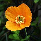 Orange Poppy II by shane22