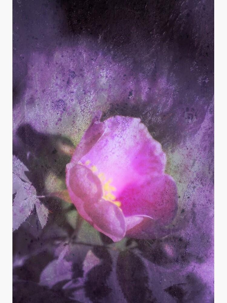 Old fashioned pink rose, purple texture by DlmtleArt