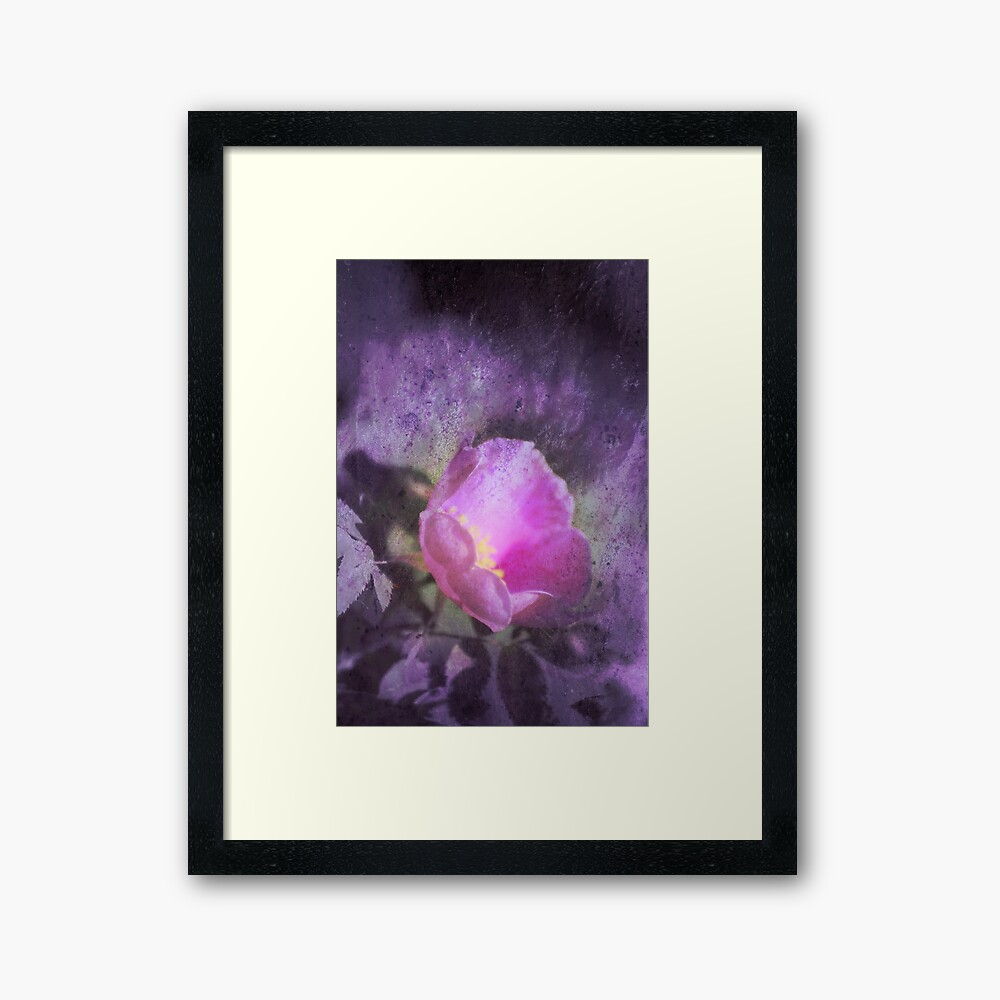 Old fashioned pink rose, purple texture Framed Art Print