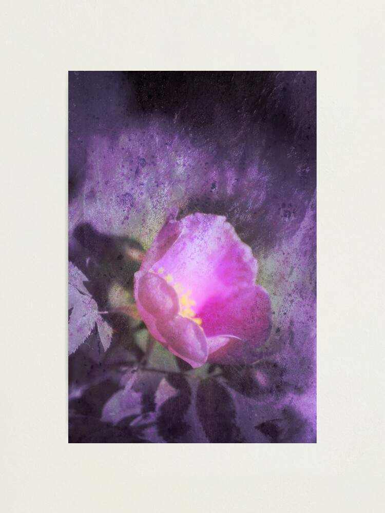 Alternate view of Old fashioned pink rose, purple texture Photographic Print