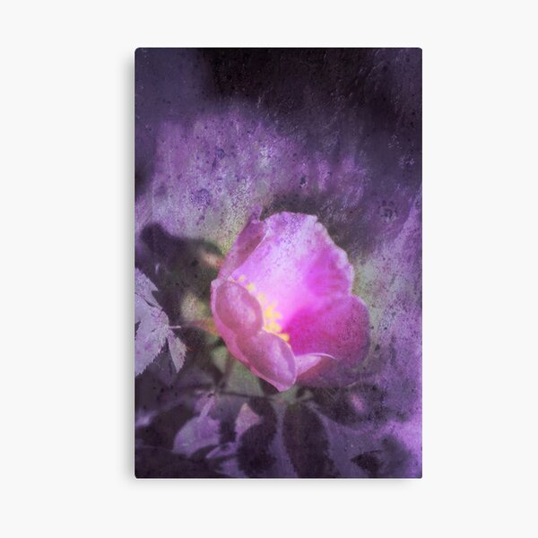 Old fashioned pink rose, purple texture Canvas Print