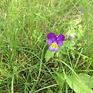Johnny Jump Up Flower by silverdragon