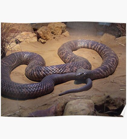 COLLETT'S SNAKE (PSEUDECHIS COLLETTI) Poster