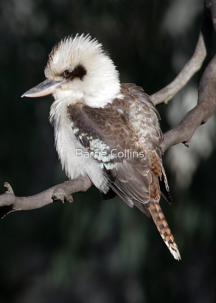 Kookaburra by Barrie Collins