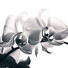 Phalaenopsis in pink - v2 by photogenicgreen