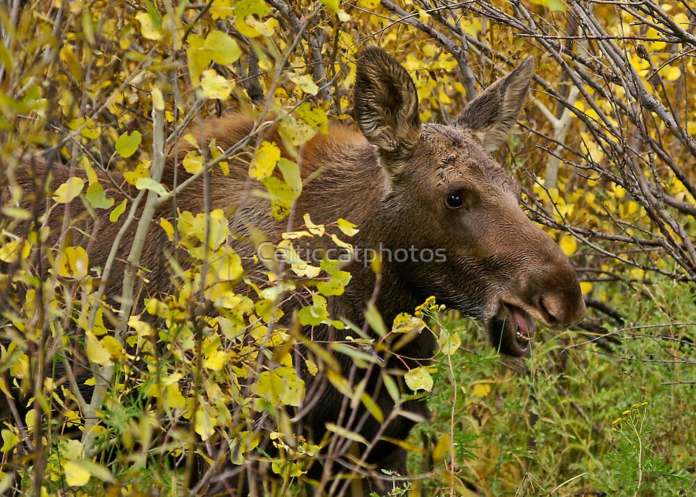 Smile - Baby Moose by Celticcatphotos