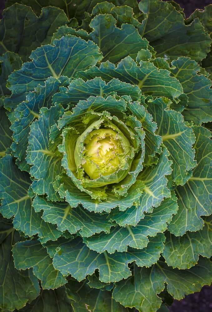 Ornamental Cabbage #17 by alan shapiro
