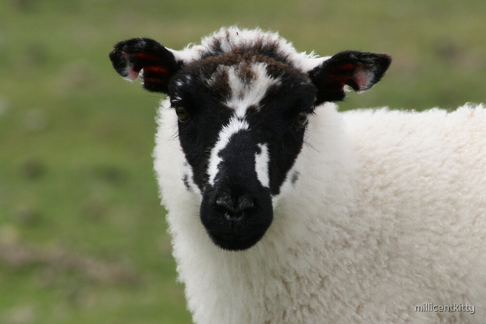 Dartmoor Sheep by millicentkitty