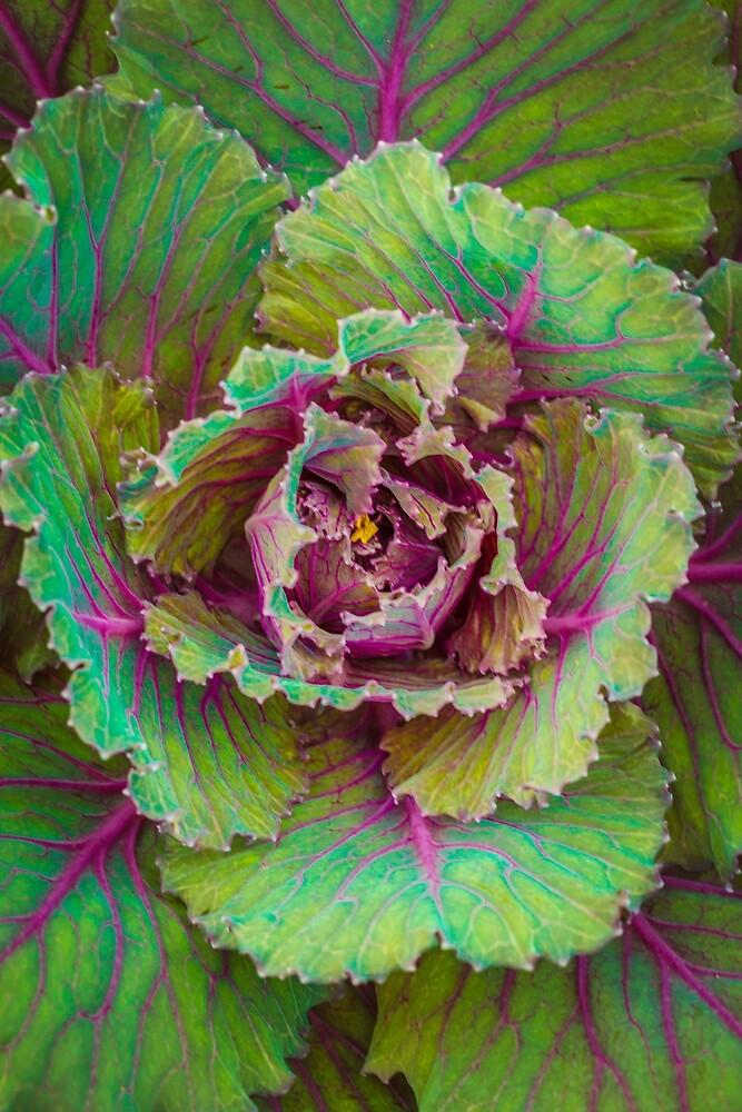 Ornamental cabbage #28 by alan shapiro