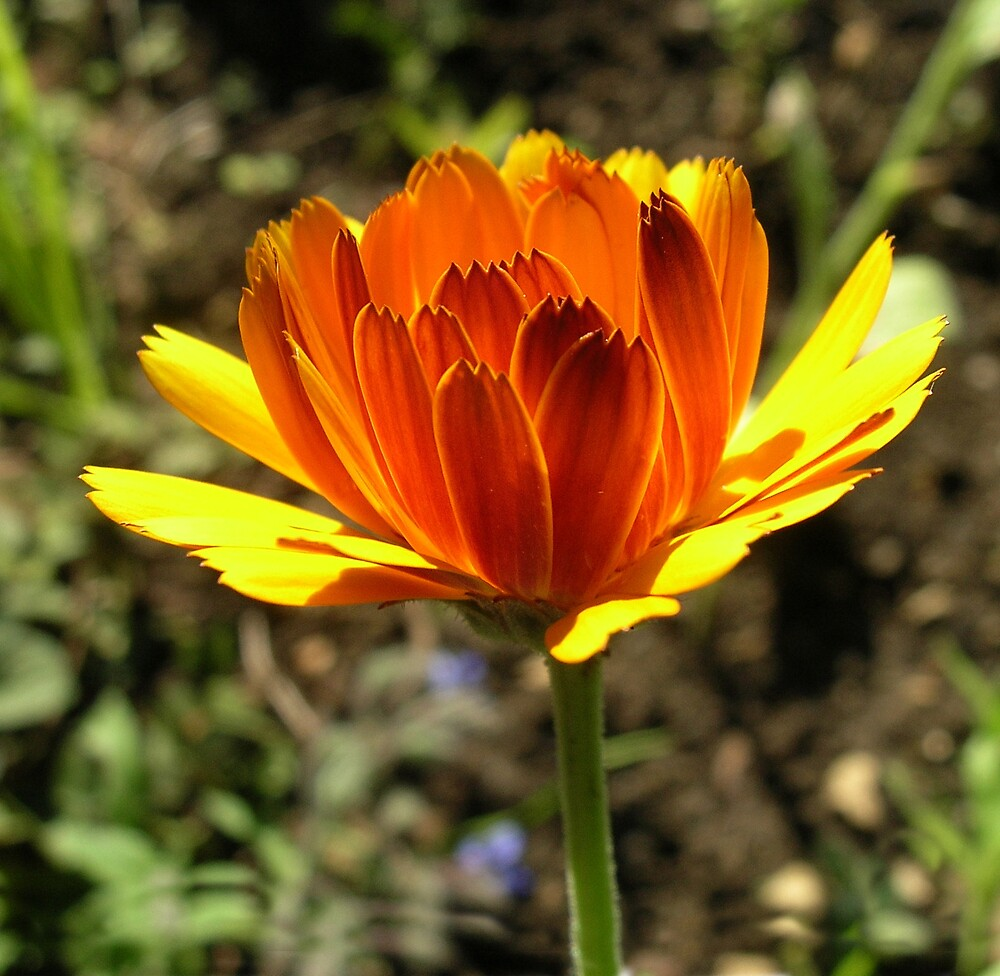Marigold 2 by Gabrielle Battersby