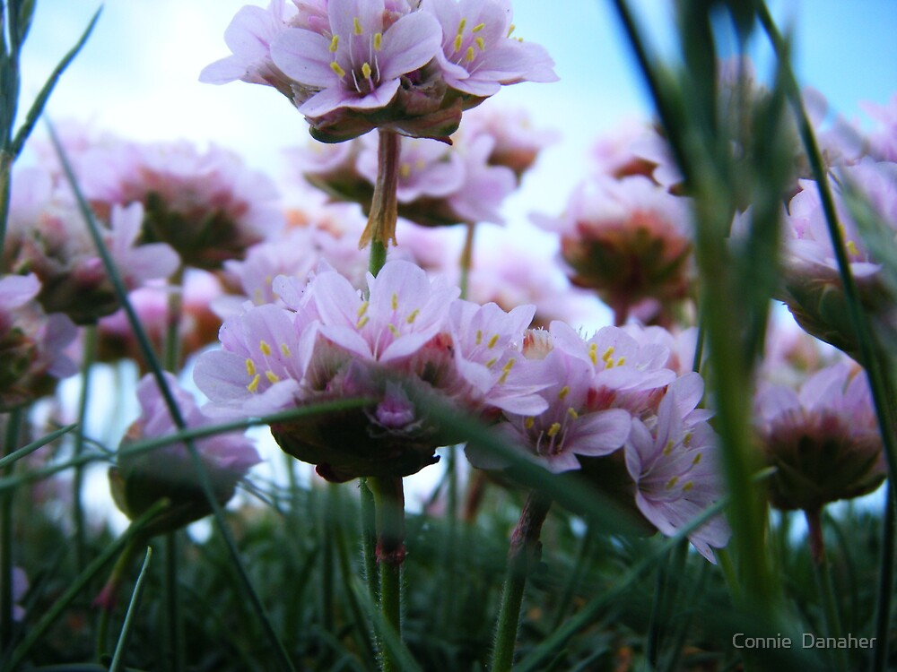Sea Pinks  by Connie  Danaher