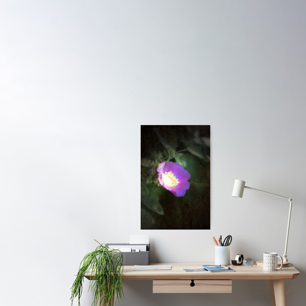 glowing old fashioned rose elegance Poster