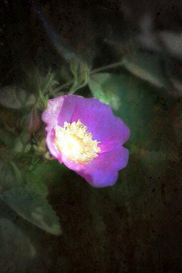 glowing old fashioned rose elegance by Dawna Morton