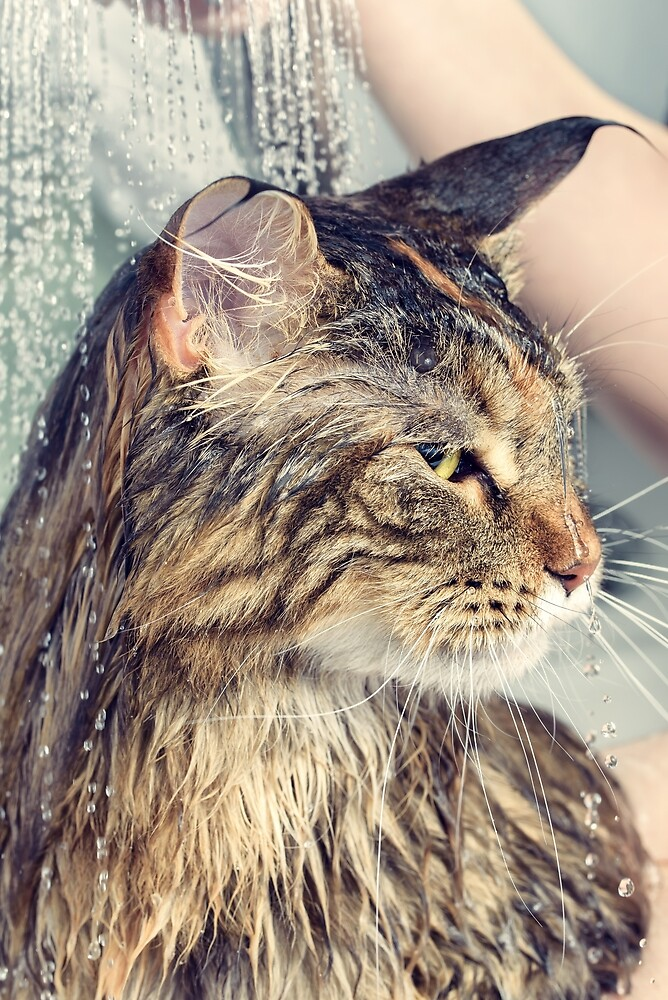Wet cat in the bath by OllegNik