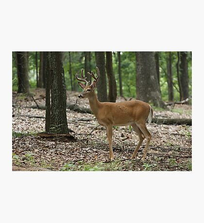 Deer in the woods Photographic Print