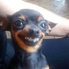 Smiling Chihuahua Meme by Crunkcolin