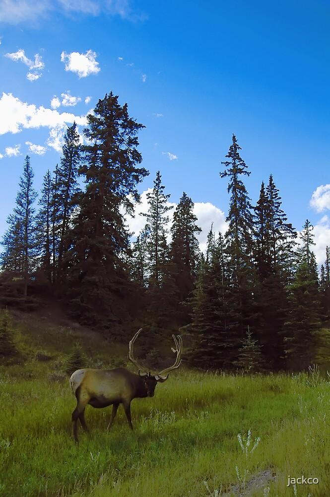 Elk looking back by jackco ching
