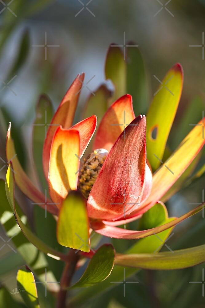 Beautiful Spring Protea by Joy Watson