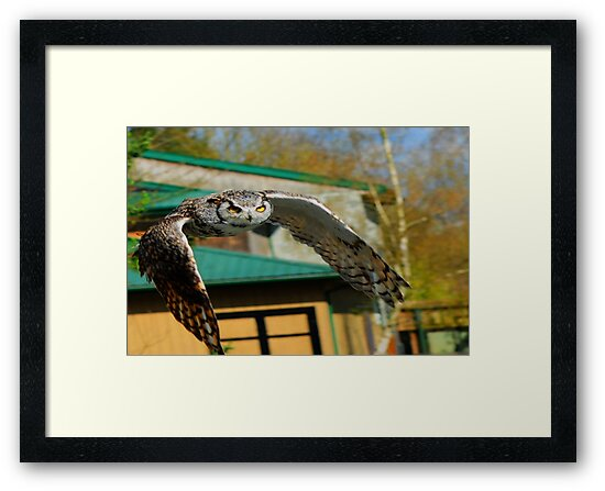 Great Horn Owl flying at you with bright yellow eye`s by killslammer