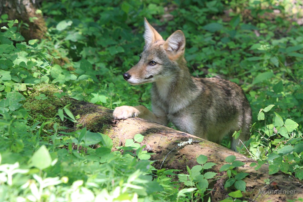 Coyote Pup by Mountaineer