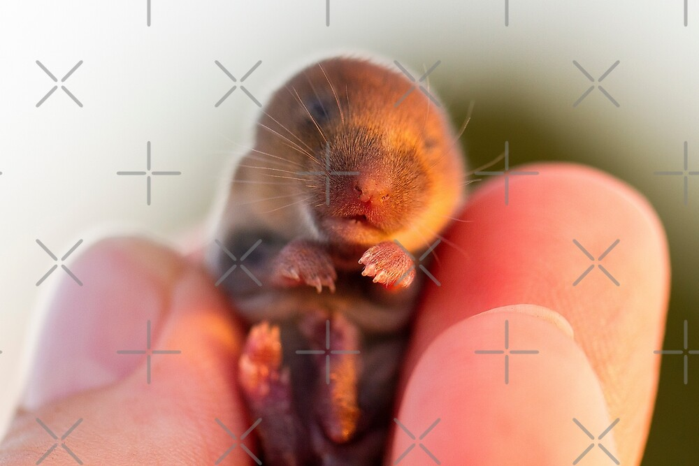 Baby Field Mouse by heidiannemorris