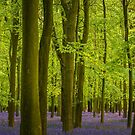 Bluebell Wood by George Wheelhouse