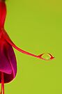 Fuchsia - With Droplet by George Wheelhouse