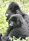 Mountain Gorillas II by Steve Bulford