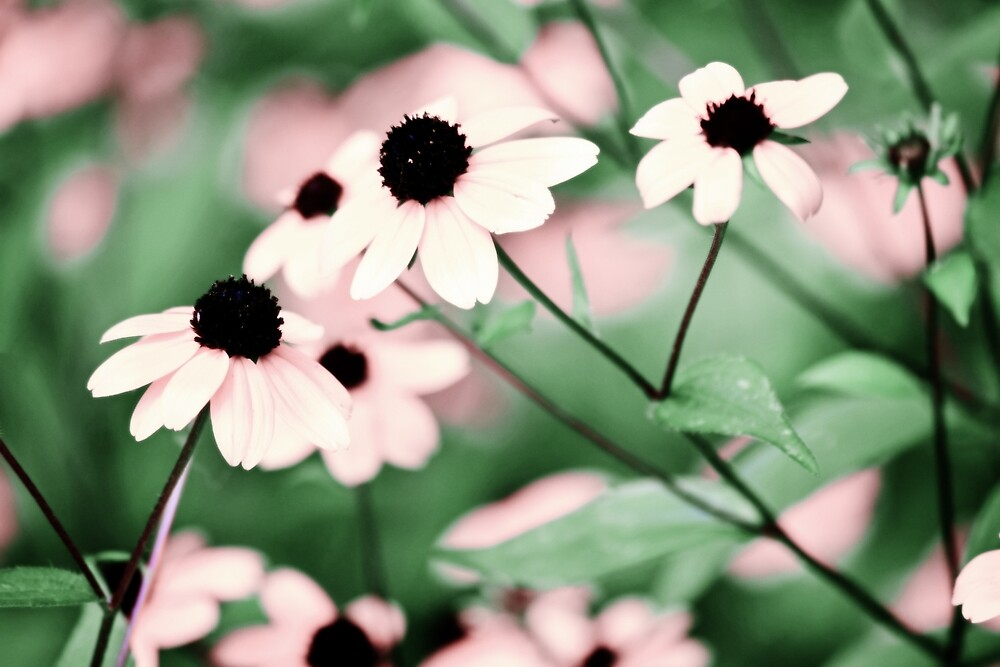 Coneflowers No. 8-2 by SandyTaylorNYC