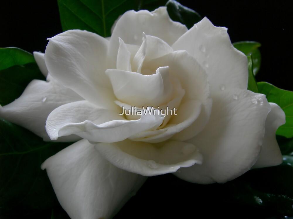 Gardenia by JuliaWright