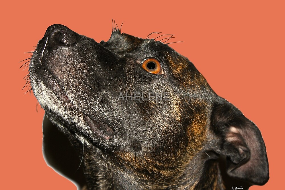 The cutiest staffie by AHELENE