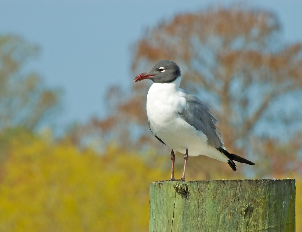 LAUGHING GULL (Laurus atricilla) ON PIER 2 by pjwuebker