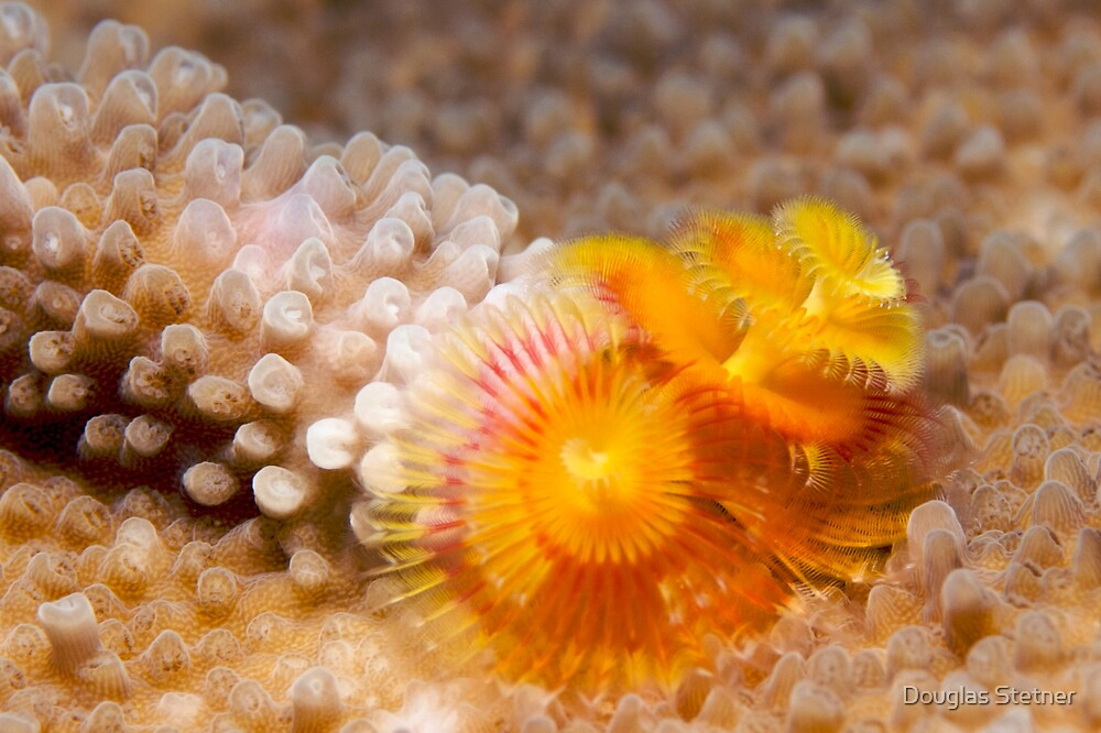 Ribbon Reefs - Christmas Tree Worms by Douglas Stetner