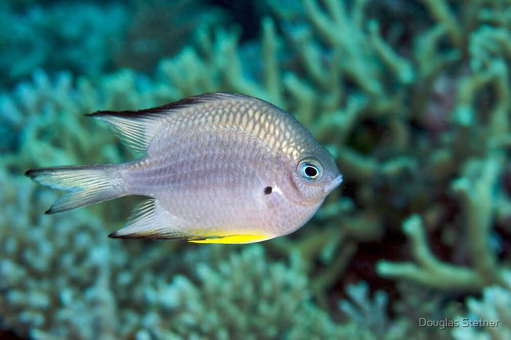 Ribbon Reefs - White-belly Damsel by Douglas Stetner